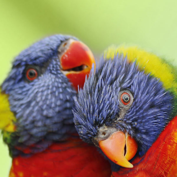 Lorikeets at Colchester Zoo