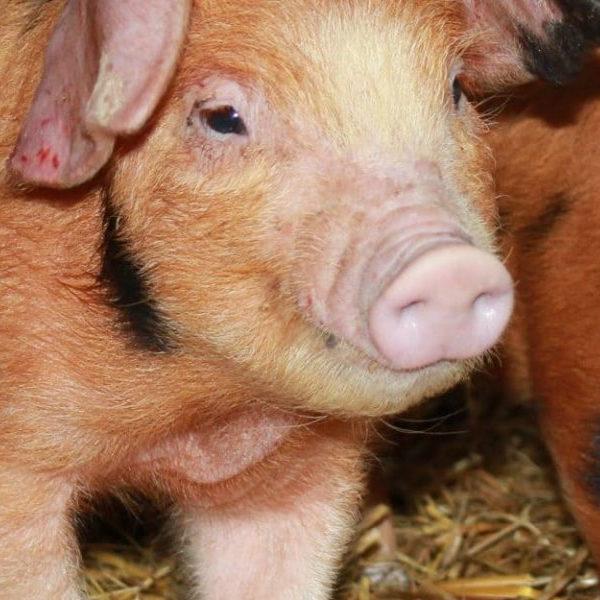 Pigs at Marsh Farm